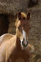 Rocking I Quarter Horse 2012 foal